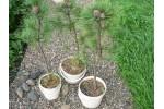 Саженцы кедра  с закрытой корневой системой